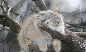 11 диких кошек, уровень сладости которых просто превышает изображение